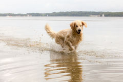 Golden Retriever enjoys lake Stock Photo