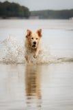 Golden Retriever enjoys lake Stock Photo