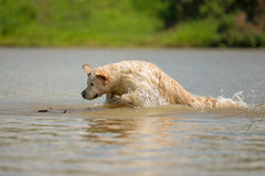 Golden retriever enjoys swimming. And games in the water Stock Image