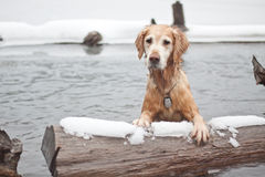 Golden Retriever. This Golden enjoys the water no matter what time of year it is. The main portion of the lake behind it is completely frozen, so I can only Royalty Free Stock Photo