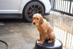 Golden retriever får ett bad Arkivfoton