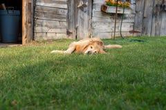 Golden retriever felice che risiede nell'erba di estate immagine stock