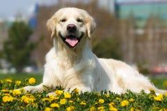 Golden retriever feliz de la raza del perro Fotografía de archivo libre de regalías