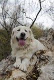 Golden retriever feliz nas madeiras fotografia de stock royalty free