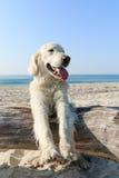 Golden retriever feliz que joga na praia Foto de Stock Royalty Free