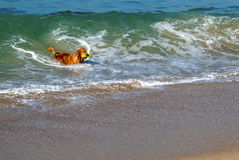 Playing In The Surf. A Golden Retriever fetches its toy from the water while on a walk at the beach Royalty Free Stock Photography