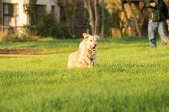 Golden Retriever Fetching Ball Stock Photography