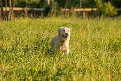 Golden Retriever fetching ball. Stock Image