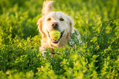 Golden Retriever Fetching the Ball Stock Photography