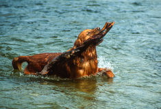 Golden Retriever Fetching a Big Wood Branch in a River Stock Photos