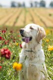 Golden retriever in the field Stock Photo