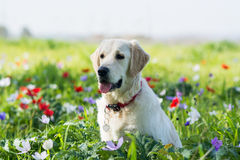 Golden retriever in the field Royalty Free Stock Photos