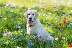 Golden retriever in the field Royalty Free Stock Photo