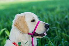 Golden retriever in the field Royalty Free Stock Images