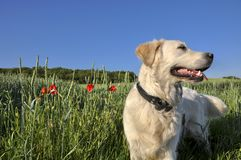 Golden retriever on field stock photography