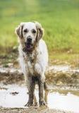 Golden retriever in the field Stock Photos