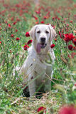 Golden retriever in  field Royalty Free Stock Images