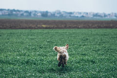 Golden retriever in the field Stock Photography