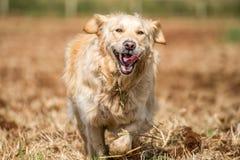 Golden Retriever in Fields Stock Photo