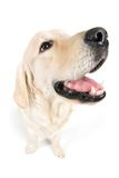 Golden retriever fish eye Stock Images