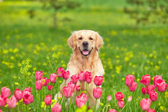 Golden Retriever and flowers stock photo