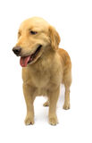 Golden Retriever on Foot Stock Images