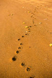 This is golden retriever footprint Stock Photo