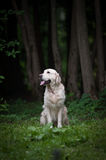 Golden retriever in a forest Royalty Free Stock Image