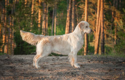 Golden retriever in the forest Royalty Free Stock Photos