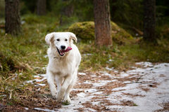 Golden Retriever in the Forest Stock Photography