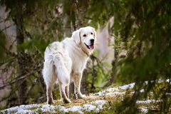 Golden Retriever in the Forest Stock Photos
