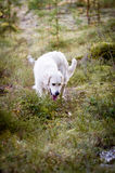 Golden Retriever in the Forest Royalty Free Stock Images