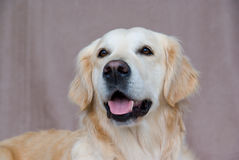 Golden Retriever friendly face. Friendly Golden Retriever against plain background royalty free stock images
