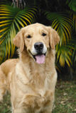 Golden retriever front part Royalty Free Stock Image