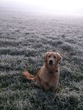 Golden Retriever in frosty moorland