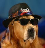 Golden Retriever in funny costume! royalty free stock photography