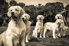 Golden retriever gang. Gang of golden retrievers in their kennel royalty free stock photo