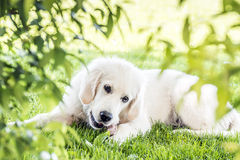 Golden Retriever in garden Royalty Free Stock Photo