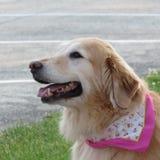 Golden retriever gelukkige hond Royalty-vrije Stock Foto's