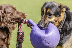 Golden Retriever and German Shepherd playing with a toy. stock photography