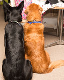 Golden retriever and german shepperd best friends. Golden retriever and german shepperd waiting for food Stock Photography