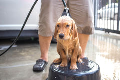 Golden retriever gets a bath Royalty Free Stock Image