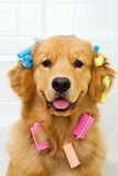 Golden Retriever getting his hair done Royalty Free Stock Images