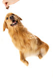 Golden Retriever getting a treat Royalty Free Stock Photo