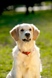 Golden retriever girl Stock Images