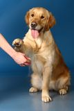 Golden retriever give a paw Royalty Free Stock Photo