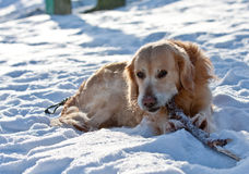 Golden Retriever gnaws a dry branch Royalty Free Stock Photography