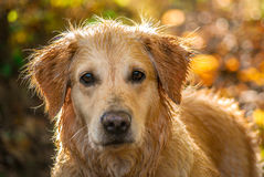 Golden Retriever in Gold Royalty Free Stock Images