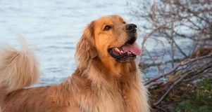 Golden retriever in Gouden Licht Stock Fotografie