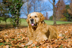 Golden Retriever GR adult dog outdoors Royalty Free Stock Photos